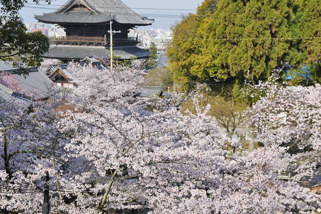 金戒光明寺の三門と桜の写真